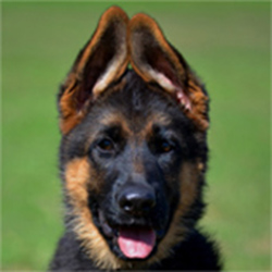 Think You're Cut Out For Owning A German Shepherd? Take This Quiz