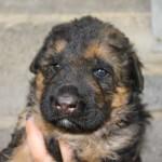puppies00001