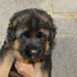 puppies00004