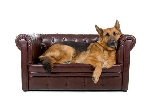 german shepherd on a couch
